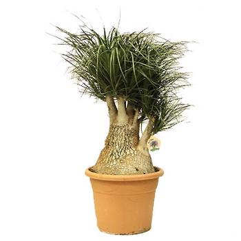Крупное комнатное растение нолина
